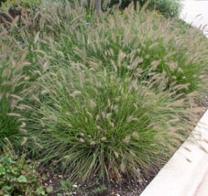 Ornamental grasses winter care and fertilizing hawks landscape inc ornamental grasses winter care and fertilizing fountaingrasshameln most ornamental grasses workwithnaturefo