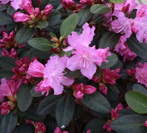 Rhododendrons pruning winter care and fertilizing for How to care for rhododendrons after blooming