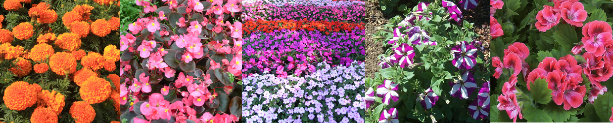 annuals-other-long