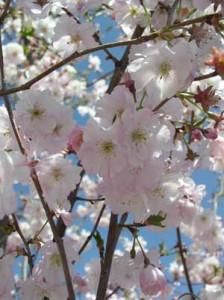 Cherry Ornamental Trees Pruning Winter Care And Fertilizing Hawks Landscape Inc