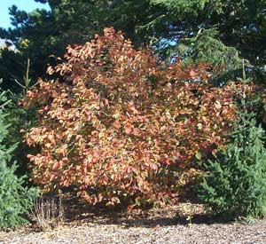 Hazelnut Pruning Winter Care And Fertilizing Hawks Landscape