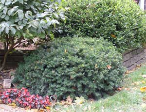 Yew Pruning Winter Care And Fertilizing Hawks Landscape Inc