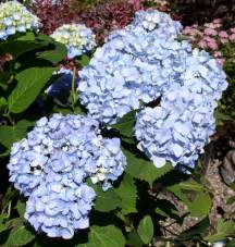 Hydrangea Leaf Hybrids Pruning Winter Care And Fertilizing Endless Summer