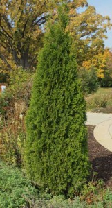 Arborvitae Pruning Winter Care And Fertilizing