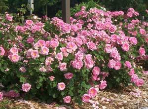 Rose Shrub Type Pruning Winter Care And Fertilizing Hawks